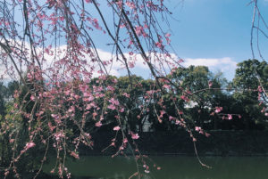 皇居の桜が咲きはじめ